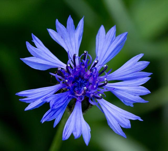 Pablo Neruda: Ode al fiore azzurro