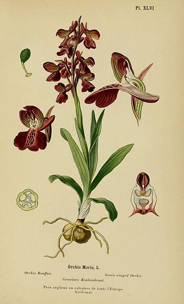 Orchis, giovane focoso e bello; dai suoi resti nacque la prima orchidea